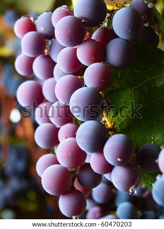 grapes watered by the rain in italian vineyard - stock photo