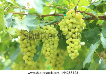 grapes with green leaves on the vine. fresh fruits - stock photo