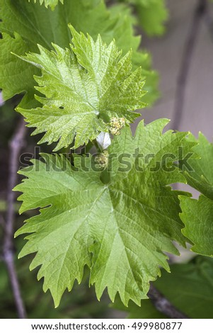 Grapevine flower transformation into a grape berry, In the Northern Hemisphere, this takes place in May and in the Southern Hemisphere in November