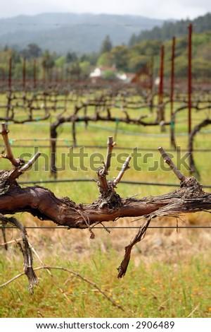 Grapevine in a vineyard, Napa valley, California - stock photo