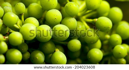 grapevine , Riesling grapes on the Mosel, germany - stock photo