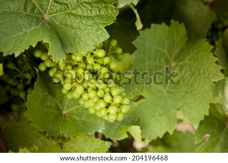 grapevine, Riesling, on the Mosel river in Germany, - stock photo