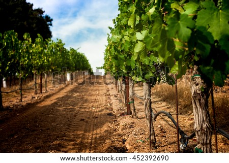 Grapevine row with veraison of grapes, Napa Valley California vineyard. Dirt in a vineyard row in Napa wine country. Green grapes turn red on a single grape cluster. Blue sky on a sunny day. - stock photo