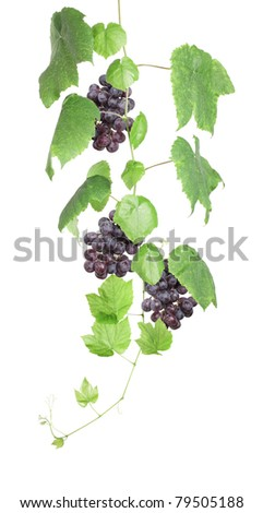 Grapevine with red grapes isolated on white - stock photo
