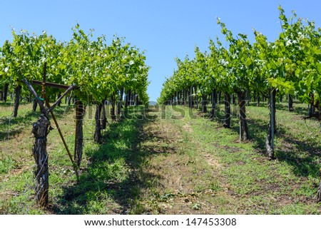 Grapevines in a Row - stock photo