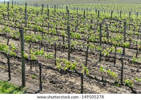 Grapevines in Napa Valley California - stock photo