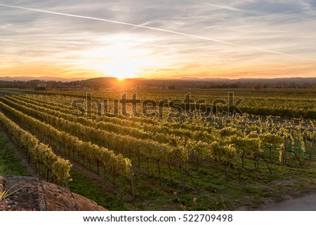 Grapevines in the autumn just before sunset