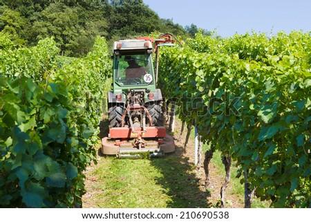 Grapevines in vineyard - stock photo