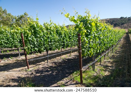 Grapevines of young grapes in California Summer - stock photo