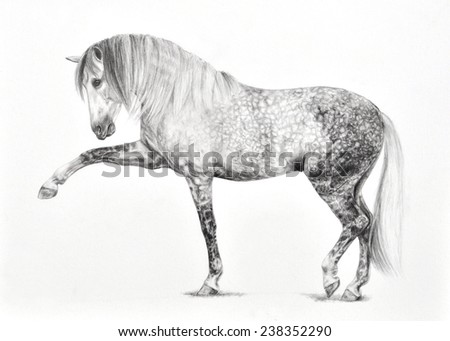 Graphite Pencil Drawing of an Andalusian Horse Performing the Spanish Walk - stock photo