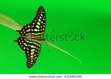 Graphium butterfly on green grass close up - stock photo