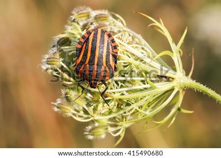 Graphosoma lineatum, Shield bug from Lower Saxony, Germany - stock photo