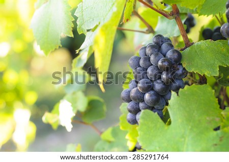 Grappe for red wine - stock photo