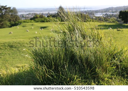 Grass and sheeps in the background, Cornwall Park, Auckland, New Zealand.