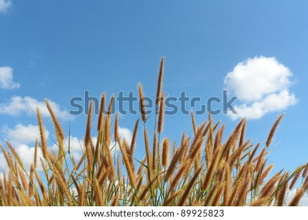 Grass and sky.The flower of grass.