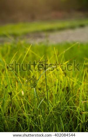 grass at dawn in the sun - stock photo
