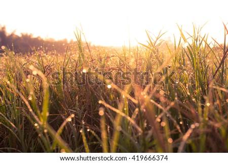 grass at sunrise - stock photo