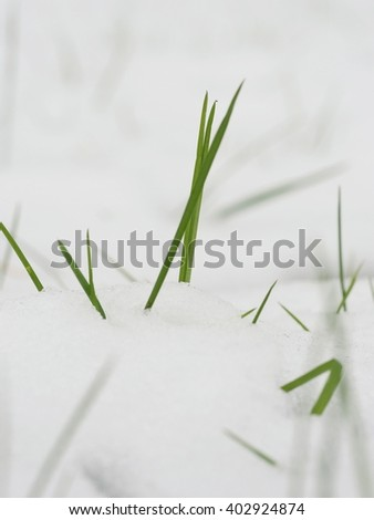 Grass Blade Snow - stock photo