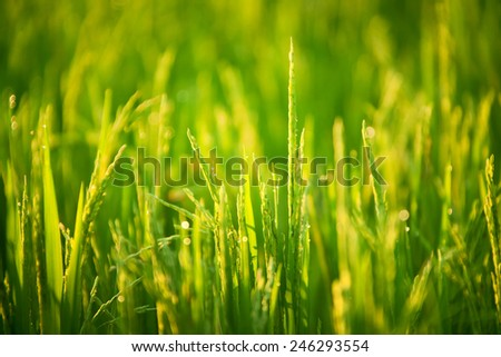 Grass blades with drops of dew on the sunrise in the morning mist - stock photo
