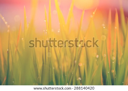 Grass-blades with drops of water in the sunset - stock photo