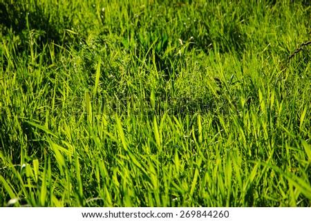 Grass field at soft sunset light. Selective focus. - stock photo