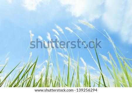 Grass flower field on blue sky. - stock photo