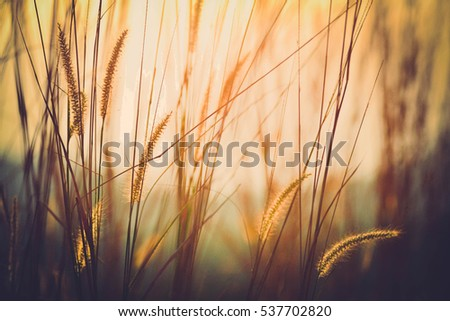 Grass flower  in evening