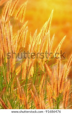Grass flower in the golden light of sunset