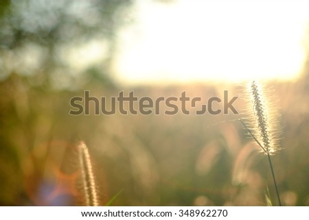 grass flower on the sunlight