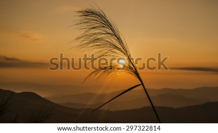 grass flower with sunset background.