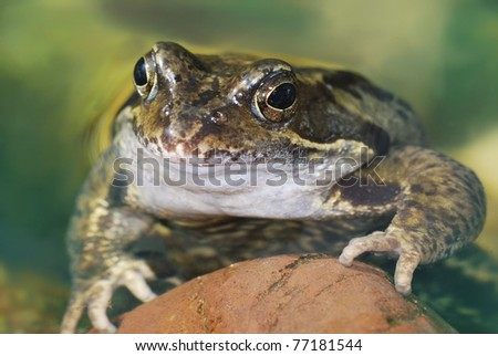 Grass frog lying in the water
