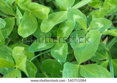 grass green clover  - stock photo