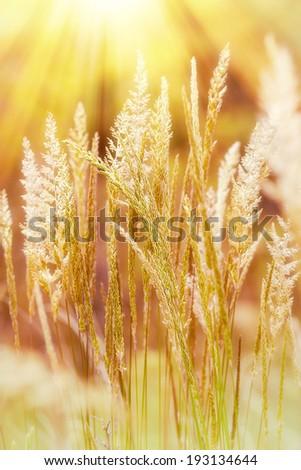 Grass illuminated by sunlight - stock photo