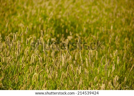 grass illuminated by the setting sun. summer nature background with backlight - stock photo