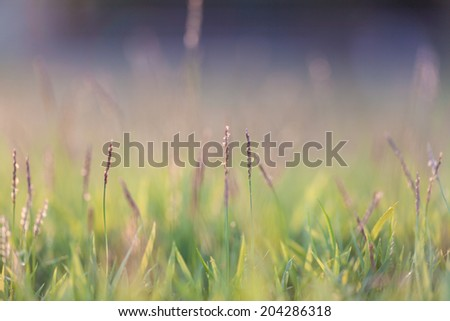 Grass in evening light blur for background in green