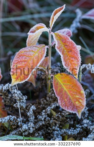 Grass in the morning covered with frost - stock photo