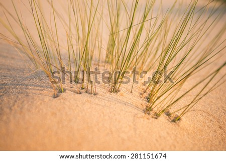 Grass in the sand by the ocean at sunset close-up - stock photo
