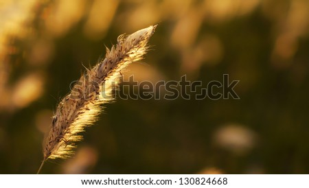 Grass in the Sunset Light - stock photo
