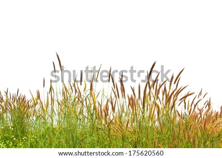 grass isolated on white background - stock photo
