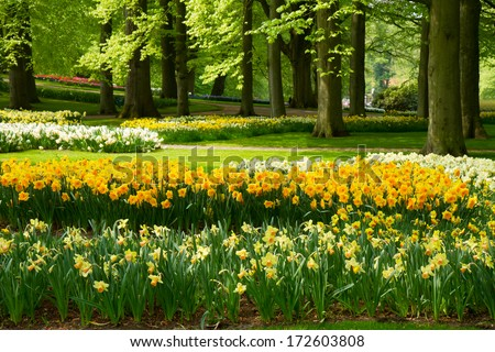 grass lawn with yellow daffodils  in dutch garden 'Keukenhof', Holland - stock photo