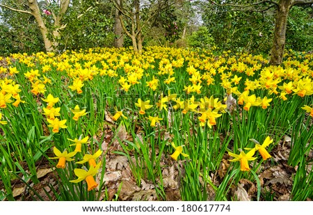 grass lawn with yellow daffodils in Wisley Garden,England - stock photo
