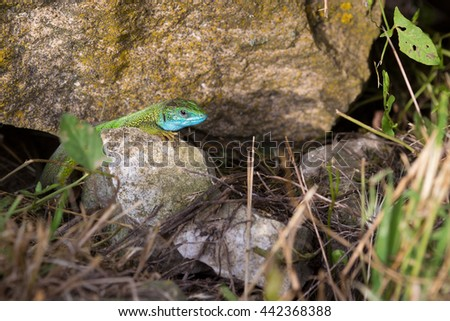 Grass lizard ( Lacerta taurica ) , a species of Dobrogea and the Danube Plain - stock photo