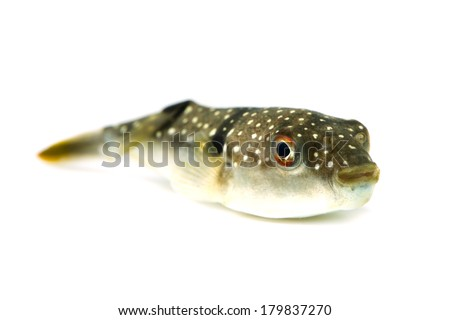 Grass Puffer-Takifugu niphobles, This image is available for clipping work.  - stock photo
