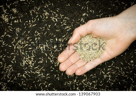 Grass seed held in hand over soil and planted seeds with copy space