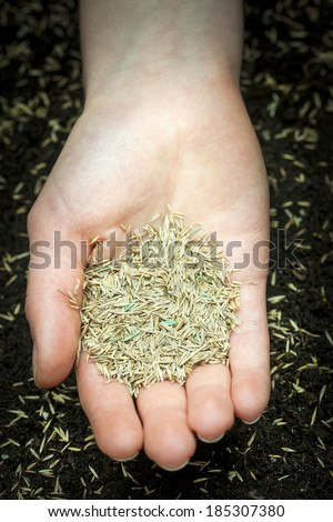 Grass seed held in hand over soil with planted seeds - stock photo