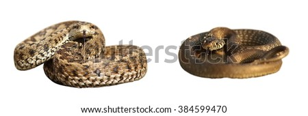 grass snake and meadow viper isolated over white, differences between poisonous and harmless species of european snakes ( Vipera ursinii rakosiensis, Natrix natrix ) - stock photo