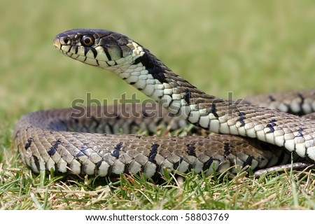Grass Snake Basking in sunlight. - stock photo