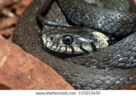 Grass Snake close-up - stock photo
