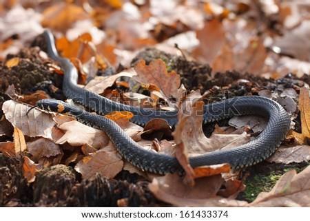 grass snake crawling on a yellow autumn foliage - stock photo