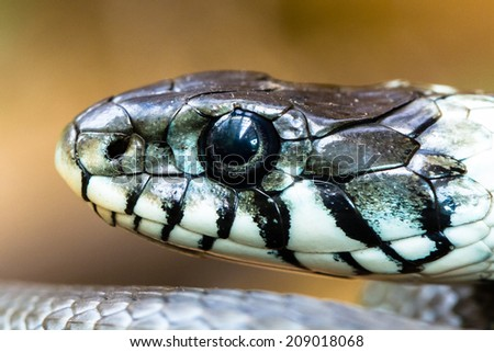 Grass snake extreme profile closeup - stock photo